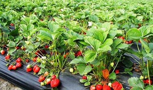 Пленка предохраняет ягоды от гниения и облегчает сбор урожая