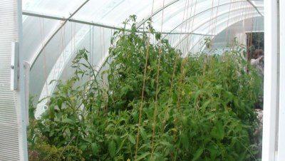 Поликарбонатная теплица – отличная защита для томатов