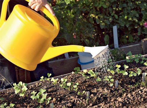 Полив ростков редиса