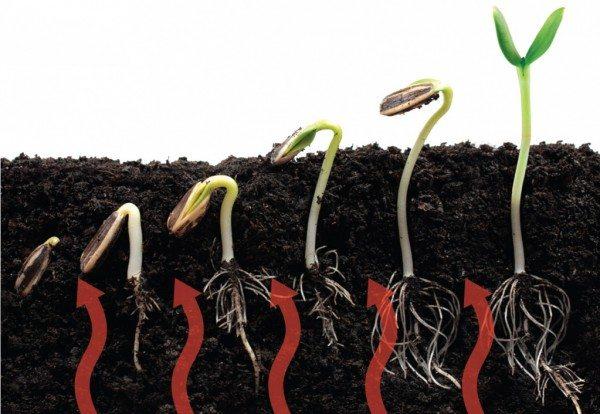 Прогрев почвы способствует более активному росту