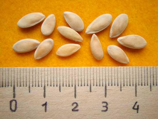 Размер семян