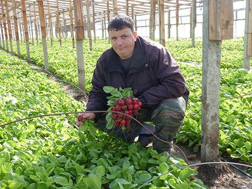 Редис в теплице – высокая урожайность вкусного корнеплода