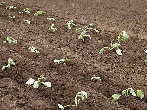 Ростки белокочанной капусты.