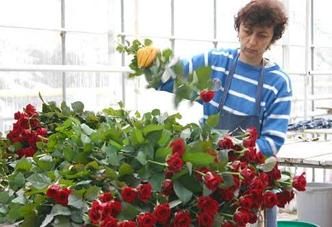 Сбор и сортировка роз
