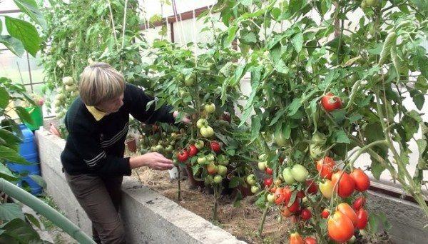 Сбор созревших томатов