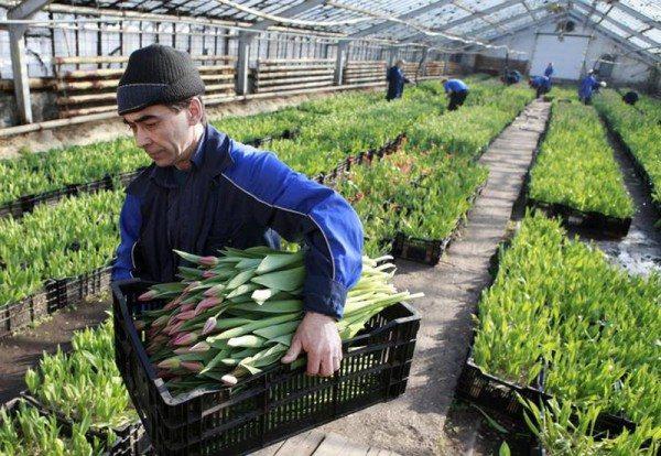 Сбор тюльпанов