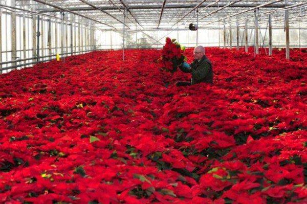Шикарный парник с розами