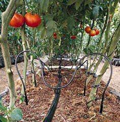 Система капельного полива для выращивания томатов