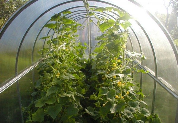 Слишком маленькая теплица – неудобно ухаживать за растениями
