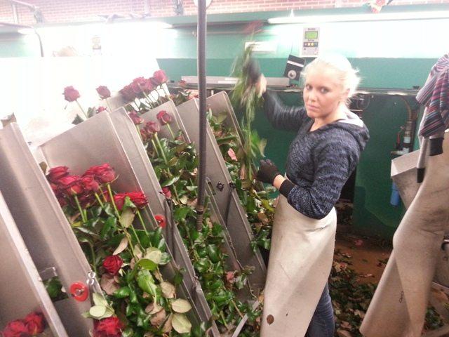 Сортировка роз после сбора