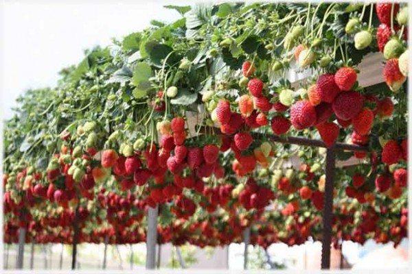 Спелые ягоды свисают из контейнера