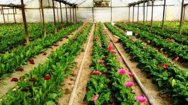 Стройные ряды роз