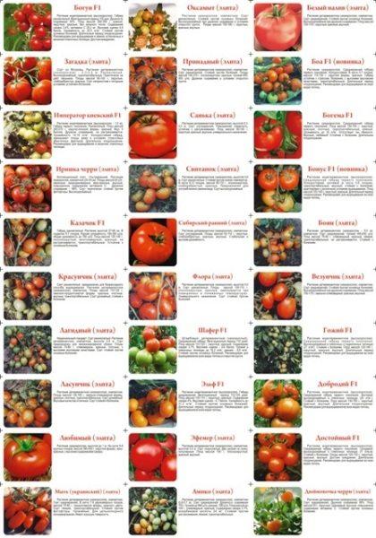 Существует огромное количество различных видов тепличных томатов, для выращивания которых необходимы особые условия