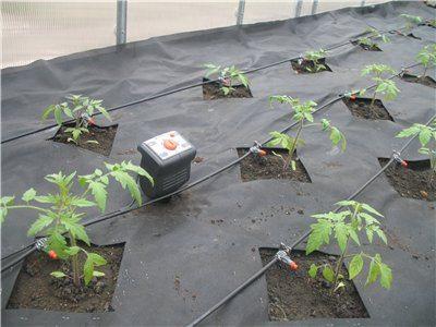 Так выглядит автоматическая система капельного полива для томатов.