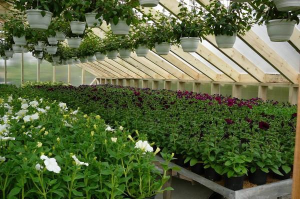 В пленочных укрытиях успешно создается комфортный для цветов климат.