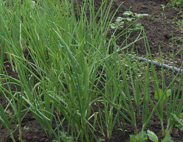 Вы круглый год можете выращивать лук у себя на подоконнике, но в теплице объёмы гораздо выше, а получаемая зелень и крупнее, и сочнее