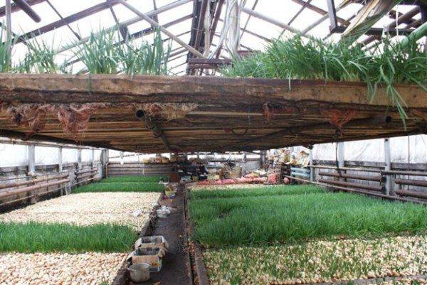 Выращивание лука-пера в тепличных условиях