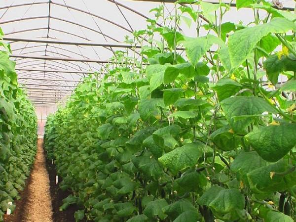 Выращивание овощей в теплицах - сначала нужно прилично попотеть осенью, зимой и весной, чтобы летом получить такое огуречное «авеню»