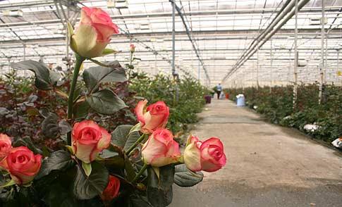 Выращивание роз для коммерческих целей