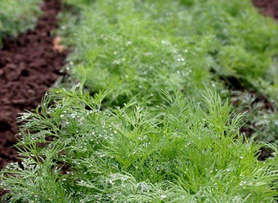 Зелень – оптимальный вариант для выращивания зимой в теплице