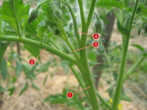 3, 4 - части растения, подлежащие пасынкованию
