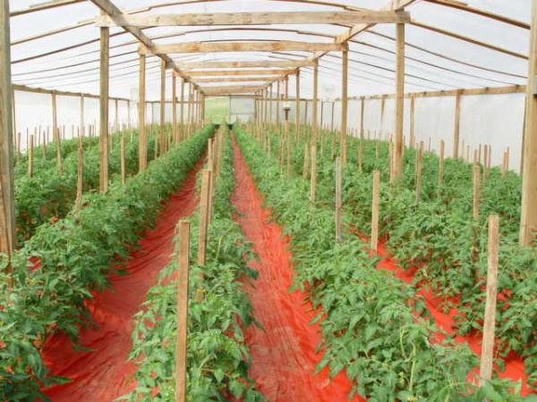 Аккуратные грядки помидор благодаря подвязке