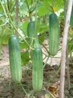 «Аннушка F1» - ранний высокоурожайный сорт.
