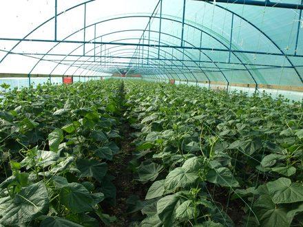 Чтобы сохранить урожай, требуется опрыскать все растения в теплице