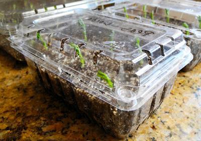 Для изготовления теплицы из подручных материалов пригодится прозрачная пластиковая тара, в которой продаются торты, пирожные или готовая еда в супермаркетах