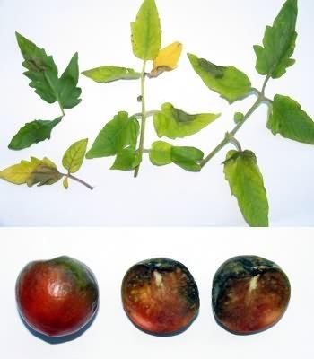 Фитофтороз плодов и листьев томата
