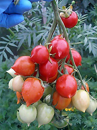 Фото эксклюзивного сорта томатов