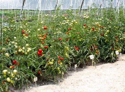 Фото грядки с томатами