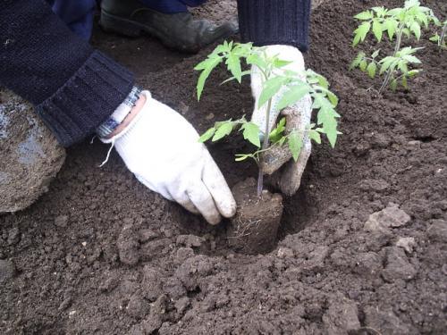 Горшечную рассаду высаживают в лунки вертикально.