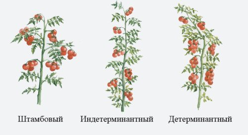 Характеристики видов помидор