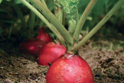 Хороший урожай редиса можно получить, сея его в парнике между огуречной рассадой.