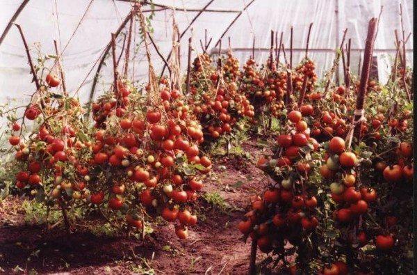 Кусты помидоров без листьев.