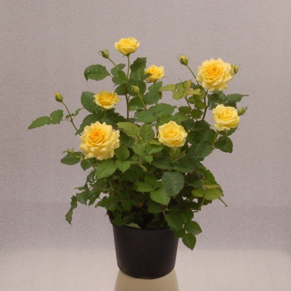 Миниатюрные розы «Terrazza» выращивают в теплицах на продажу для украшения общественных парков и частных участков.
