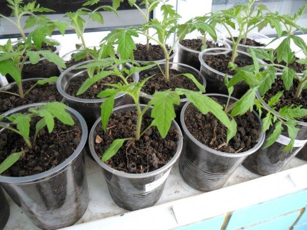 Молодые растения после пикировки