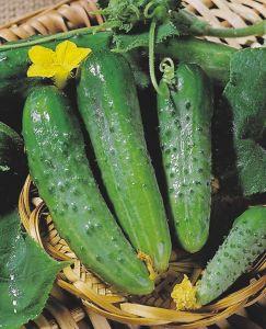 На фото- раннеспелый сорт «Зозуля F1», этот гибрид предназначен для выращивания в весенних теплицах.
