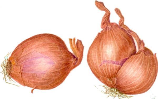 На фото изображены луковицы репчатого сорта и лука-шалот.