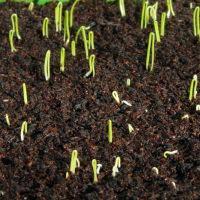 На фото изображены ростки семенного лука.