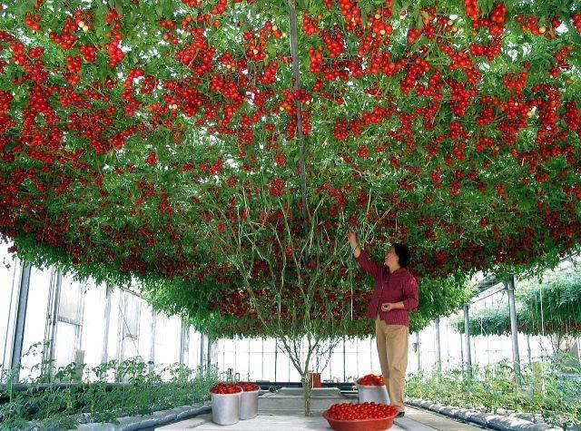 Какие бывают георгины: разновидности цветов георгин с фото