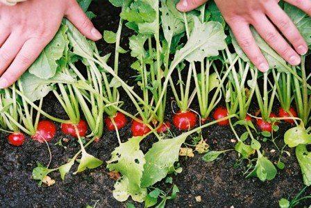 Нормальный урожай - 2 кг на 1 м².