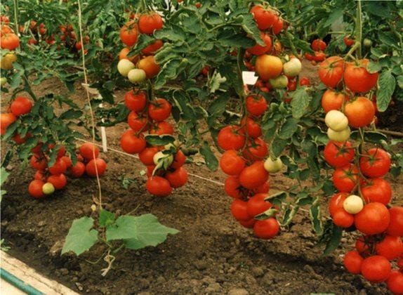 Новый салатный помидор удивляет своей урожайностью: плодов на его кистях, как на ухоженной грозди винограда.
