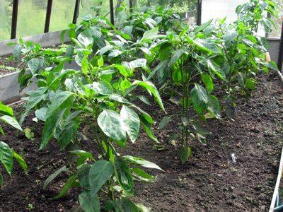 Перец – настоящая кладовая витаминов