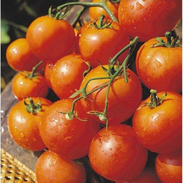 Плоды собираем бурыми, так как полное их покраснение истощает растение.