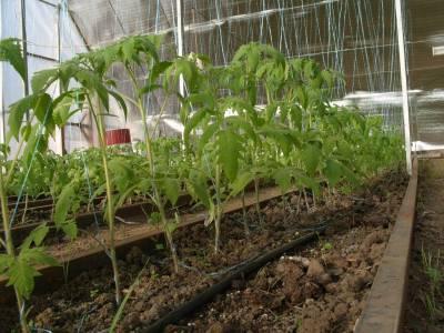 Дизайн двора частного дома: 55 примеров реализации Схема посадки помидоров в теплице