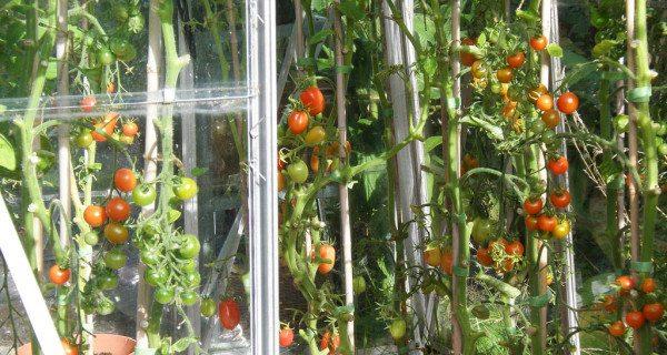 Подвязка поможет получить роскошный урожай