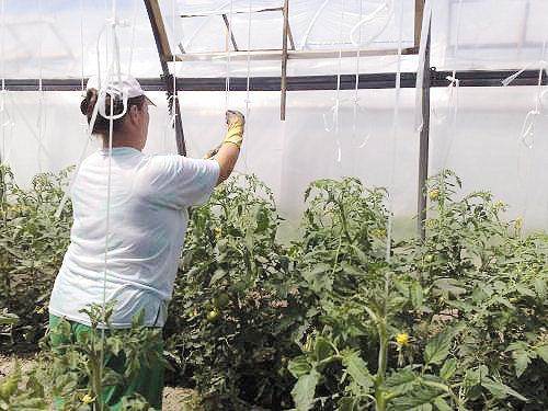 Подвязываем томаты аккуратно