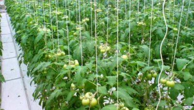 Подвязывание убережет растения и от болезней